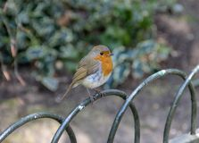 Robin redbreast Erithacus rubecula perched on a metal fence. In park Stock Photography