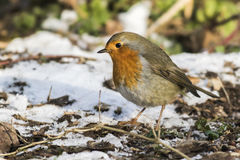 Robin redbreast Erithacus rubecula Stock Images