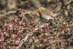 Robin redbreast Erithacus rubecula Stock Photography