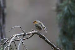 Robin redbreast Erithacus rubecula Royalty Free Stock Photo