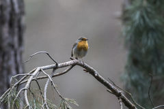 Robin redbreast Erithacus rubecula Royalty Free Stock Photography