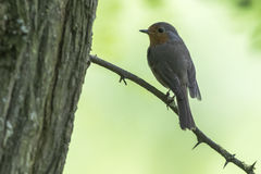 Robin redbreast Erithacus rubecula Royalty Free Stock Image