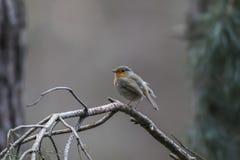 Robin redbreast Erithacus rubecula Stock Image