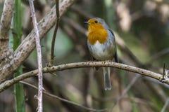 Robin redbreast Erithacus rubecula Stock Photos