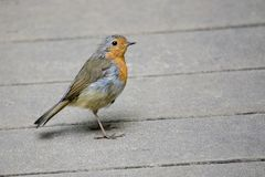 Robin Redbreast Erithacus rubecula On Wooden Decking stock photos