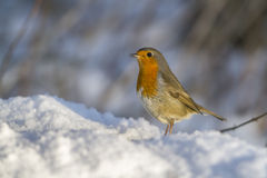 Robin redbreast (Erithacus rubicula) Royalty Free Stock Photo