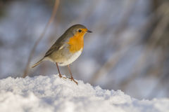 Robin redbreast (Erithacus rubicula). Robin redbreast is searching for fodder in the snow Royalty Free Stock Images