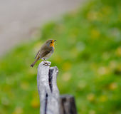 Robin (redbreast) Stock Photo
