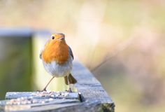 Robin redbreast feeding. A Robin Redbreast feeding on a fence post Royalty Free Stock Images