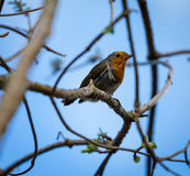 Robin redbreast Royalty Free Stock Images