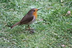 Robin Redbreast. In the garden Stock Photography