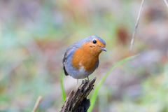 Robin redbreast. Looking for some food Stock Images