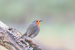 Robin redbreast. Looking for some food Stock Photos