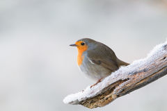 Robin redbreast. Looking for some food Stock Image
