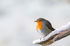 Robin redbreast. Looking for some food Royalty Free Stock Photo