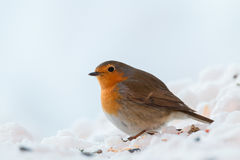 Robin redbreast. Looking for some food Stock Photo