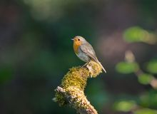 Robin redbreast on a mossy branch. Robin redbreast sitting on a mossy branch Stock Images