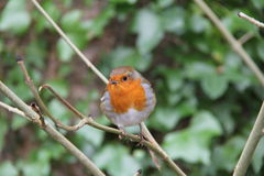 Robin. Redbreast perched on a branch Royalty Free Stock Photo