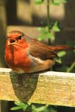 """Robin redbreast perched on garden furniture. Robin redbreast, a symbol of Christmas in the United Kingdom, as postmen in Victorian Britain were nicknamed """" stock images"""