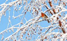 Robin redbreast perched on a snow covered tree branch royalty free stock photo