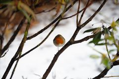 Robin redbreast perching in a bush Royalty Free Stock Photo
