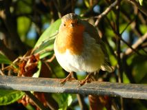 Robin Redbreast perching on a fence in Surrey Uk. Robin redbreast staring at the camera ,it looks very well fed and seems to like having his photo taken Stock Photos