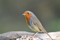 Robin Redbreast Stock Image