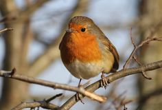 Robin Redbreast. Photographed in hedgerow Royalty Free Stock Photography