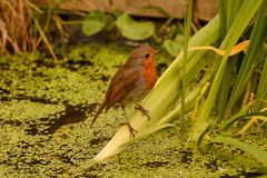 Robin Redbreast on pond plant royalty free stock images