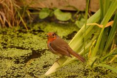 Robin Redbreast on pond plant stock images