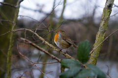 Robin redbreast Royalty Free Stock Photography