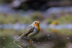 Robin redbreast Royalty Free Stock Image