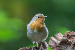 Robin redbreast Stock Photo
