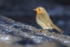 Robin redbreast Erithacus rubicula Stock Photo