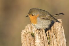 Robin redbreast Erithacus rubicula Royalty Free Stock Photography