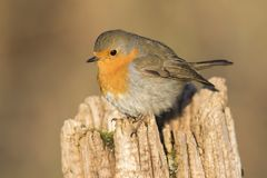 Robin redbreast Erithacus rubicula Stock Images