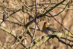 Robin redbreast Erithacus rubicula Royalty Free Stock Image