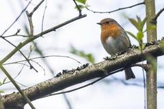 Robin redbreast Erithacus rubicula Royalty Free Stock Photo