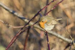 Robin redbreast Erithacus rubicula Royalty Free Stock Images