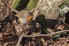 Robin redbreast Erithacus rubicula Stock Photography