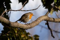 Robin on branch in the evening sun stock image
