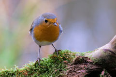 A robin redbreast sitting on bough Stock Photos