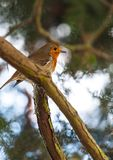 A robin redbreast sitting on a branch in winter. A Robin redbreast sitting on a branch in the winter sunlight Stock Images