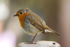 Robin Redbreast. Is small bird with gray back, white belly, red forehead, throat, chest and cheeks Royalty Free Stock Images