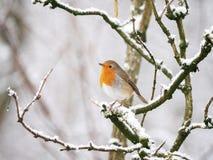 Robin Redbreast on a snowy branch