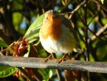 Robin Redbreast som sätta sig på ett staket i Surrey UK arkivfoton