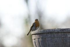 Robin redbreast in spring Royalty Free Stock Image