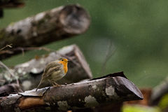 Robin. Or Redbreast standing on a branch in rain Stock Photography