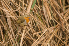 Robin in the reed Stock Image
