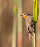 Robin on reed plant. A Robin (Erithacus rubecula) holds firmly on a reed plant while trying to catch an insect Royalty Free Stock Photos